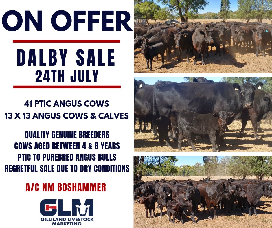 ON OFFER DALBY SALE 24TH JULY - NM BOSHAMMER COWS