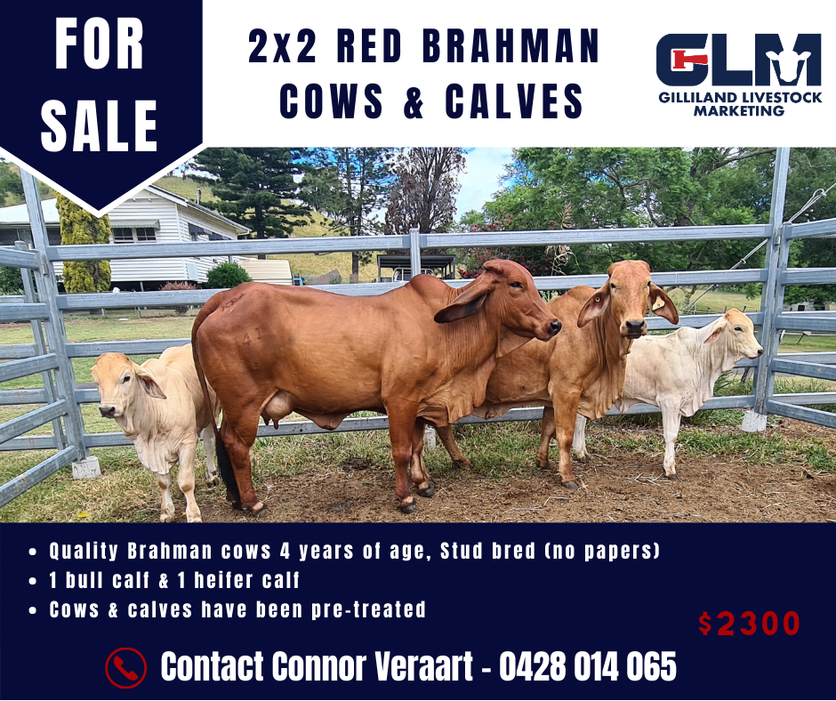 2X2 RED BRAHMAN COWS & CALVES